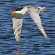 Adult breeding. Note: orange bill with black tip.