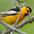 Male. Note: orange coloration, black throat, cap, and back and white wing patches