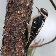 Short bill, black marks on white outer tail feathers. Male. Note: red on hindcrown.