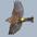 Juvenile (Audubon's race). Note: white in tail.